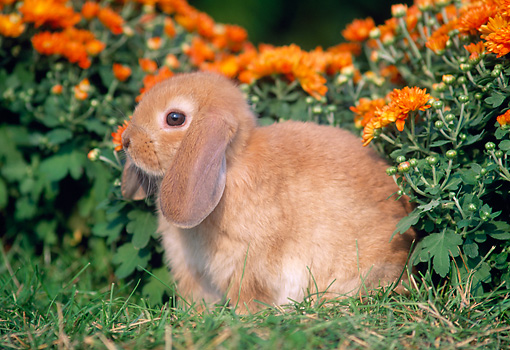 RAB 01 GR0147 01 © Kimball Stock Mini Lop Rabbit On Grass By Flowers
