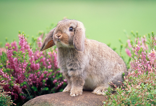 RAB 01 GR0155 02 © Kimball Stock Mini Lop Rabbit On Rock By Flowers