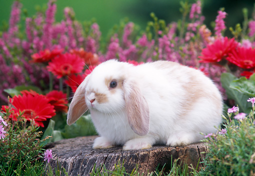 RAB 01 GR0174 01 © Kimball Stock Mini Lop Rabbit On Stump By Flowers