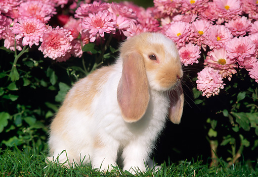 RAB 01 GR0182 01 © Kimball Stock Mini Lop Rabbit On Grass By Flowers