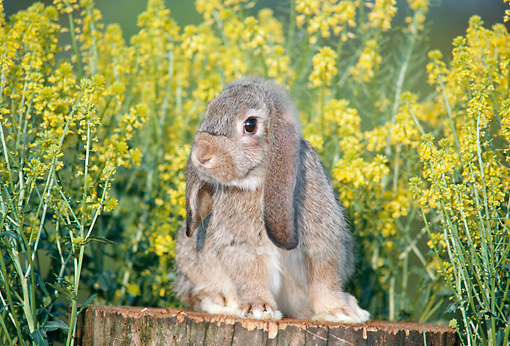 RAB 01 GR0226 01 © Kimball Stock Domestic Mixed Breed Rabbit On Stump