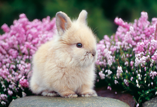 RAB 01 GR0233 01 © Kimball Stock Lionhead Rabbit On Rock By Flowers