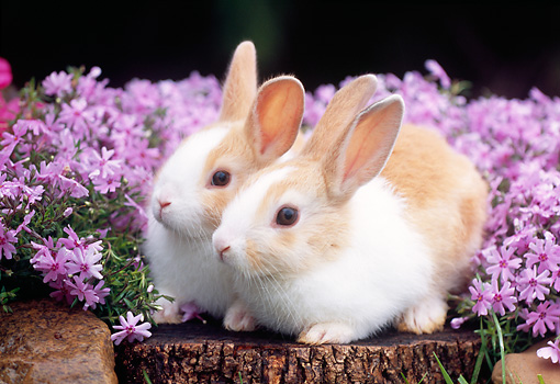 RAB 01 GR0264 01 © Kimball Stock Two Rabbits Sitting On Stump By Pink Flowers