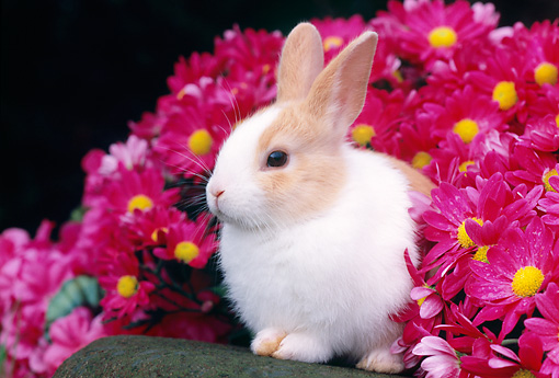 RAB 01 GR0266 01 © Kimball Stock Rabbit Sitting On Rock By Pink Flowers
