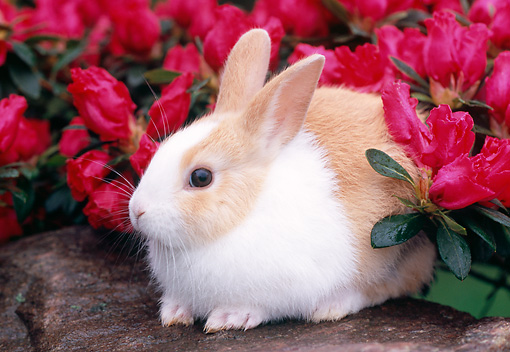 RAB 01 GR0267 01 © Kimball Stock Rabbit Sitting On Rock By Pink Flowers