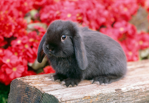 RAB 01 GR0271 01 © Kimball Stock Mini Lop Rabbit Sitting On Log By Pink Flowers