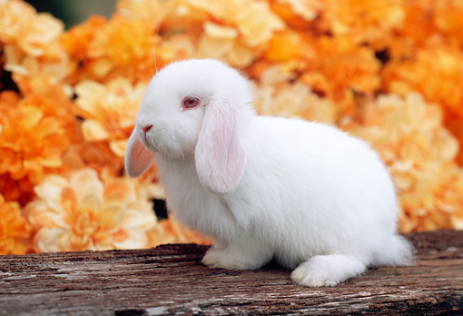 RAB 01 GR0272 01 © Kimball Stock White Mini Lop Rabbit Sitting On Log By Orange Flowers