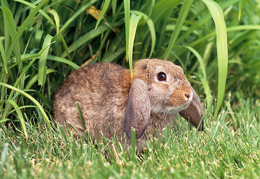 RAB 01 GR0273 01 © Kimball Stock Brown Mini Lop Rabbit Laying On Grass