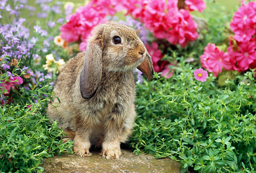 RAB 01 GR0274 01 © Kimball Stock Brown Mini Lop Rabbit Sitting In Garden With Pink And Purple Flowers