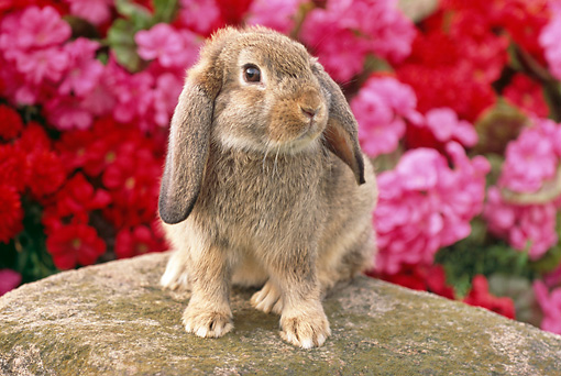 RAB 01 GR0275 01 © Kimball Stock Brown Mini Lop Rabbit Sitting On Rock By Pink And Red Flowers