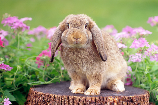 RAB 01 GR0276 01 © Kimball Stock Brown Mini Lop Rabbit Sitting On Stump By Pink Flowers