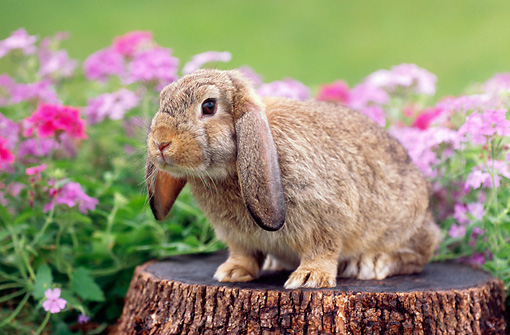 RAB 01 GR0277 01 © Kimball Stock Brown Mini Lop Rabbit Sitting On Stump By Pink Flowers
