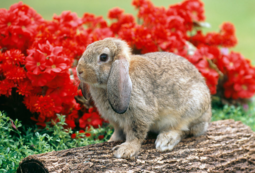 RAB 01 GR0278 01 © Kimball Stock Brown Mini Lop Rabbit Sitting On Log By Red Chrysanthemums
