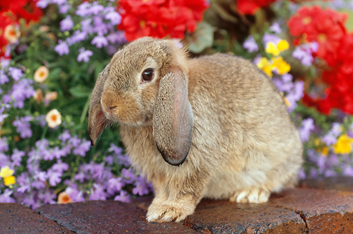 RAB 01 GR0279 01 © Kimball Stock Brown Mini Lop Rabbit Sitting On Bricks By Red, Yellow And Purple Flowers