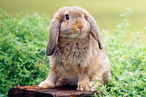 RAB 01 GR0280 01 © Kimball Stock Brown Mini Lop Rabbit Sitting On Log By Shrub