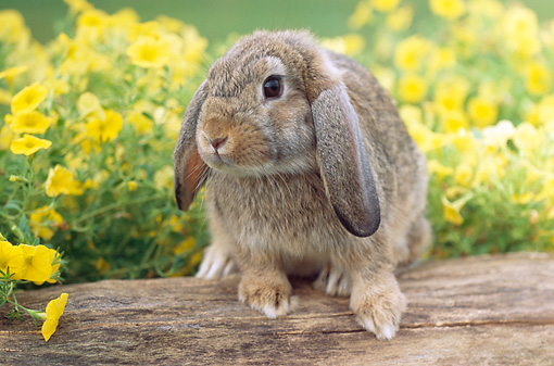 RAB 01 GR0281 01 © Kimball Stock Brown Mini Lop Rabbit Sitting On Log By Yellow Flowers
