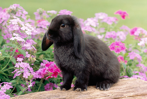 RAB 01 GR0282 01 © Kimball Stock Black Mini Lop Rabbit Sitting On Log By Pink