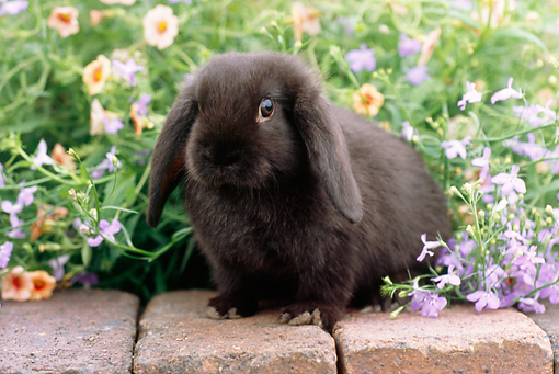 RAB 01 GR0283 01 © Kimball Stock Black Mini Lop Rabbit Sitting On Bricks In Garden