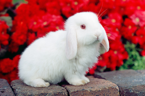 RAB 01 GR0284 01 © Kimball Stock White Mini Lop Rabbit Sitting On Bricks By Red Chrysanthemums