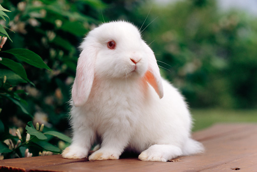 RAB 01 GR0286 01 © Kimball Stock White Mini Lop Rabbit Sitting On Bench