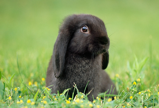 RAB 01 GR0287 01 © Kimball Stock Black Mini Lop Rabbit Sitting In Grass And Dandelions