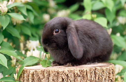 RAB 01 GR0288 01 © Kimball Stock Black Mini Lop Rabbit Sitting On Stump