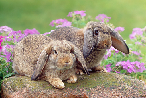 RAB 01 GR0289 01 © Kimball Stock Two Brown Mini Lop Rabbits Sitting On Rock By Pink Flowers