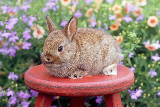 RAB 01 GR0291 01 © Kimball Stock Netherland Dwarf Rabbit Sitting On Red Plant Stand In Garden