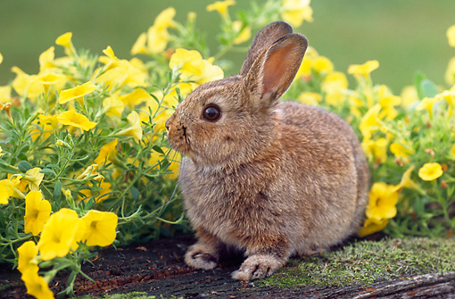 RAB 01 GR0293 01 © Kimball Stock Netherland Dwarf Rabbit Sitting On Mossy Log With Yellow Flowers