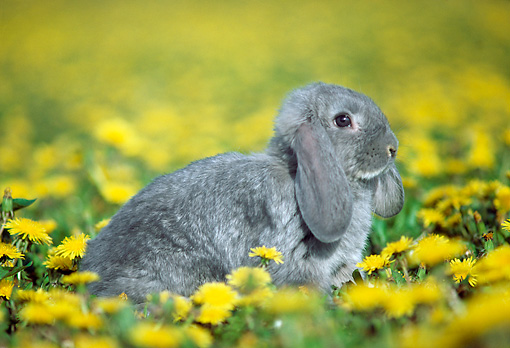 RAB 01 GR0296 01 © Kimball Stock Lop Eared Rabbit Sitting In Grass And Yellow Flowers