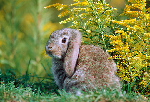 RAB 01 GR0297 01 © Kimball Stock Lop Eared Rabbit Sitting In Grass And Yellow Flowers