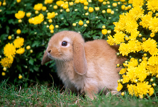 RAB 01 GR0299 01 © Kimball Stock Portrait Of Mini Lop Rabbit Sitting In Grass By Yellow Flowers