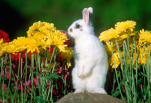 RAB 01 GR0302 01 © Kimball Stock White Mixed Breed Rabbit Sitting Upright On Rock By Yellow Flowers