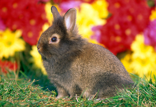 RAB 01 GR0303 01 © Kimball Stock Portrait Of Lionhead Rabbit Sitting On Grass By Flowers