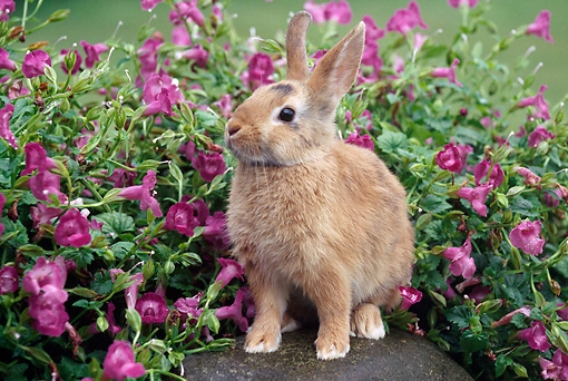RAB 01 GR0306 01 © Kimball Stock Calico Rabbit Sitting On Rock By Pink Flowers