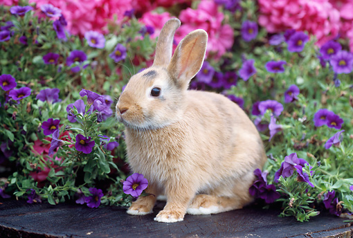RAB 01 GR0308 01 © Kimball Stock Calico Rabbit Sitting On Stump By Pink And Purple Flowers