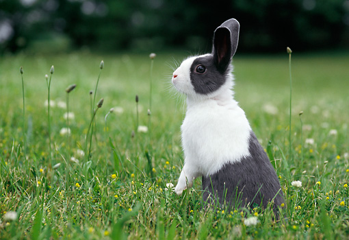 RAB 01 GR0312 01 © Kimball Stock Gray And White Rabbit Sitting Upright On Lawn