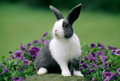 RAB 01 GR0314 01 © Kimball Stock Gray And White Rabbit Sitting On Rock By Purple Flowers