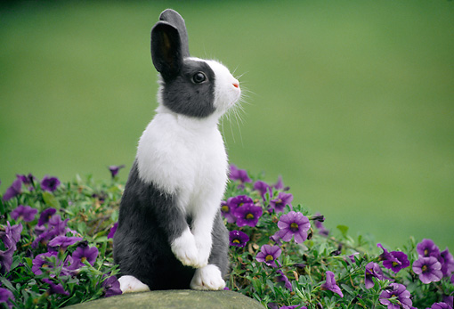 RAB 01 GR0315 01 © Kimball Stock Gray And White Rabbit Sitting Upright On Rock By Purple Flowers