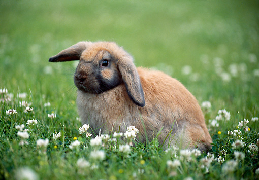 RAB 01 GR0316 01 © Kimball Stock Lop Eared Rabbit Sitting In Clover