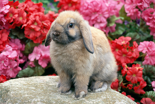 RAB 01 GR0318 01 © Kimball Stock Lop Eared Rabbit Sitting On Rock By Pink And Red Flowers