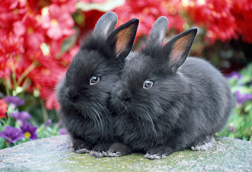 RAB 01 GR0322 01 © Kimball Stock Two Black Lionhead Rabbits Sitting On Stone In Garden