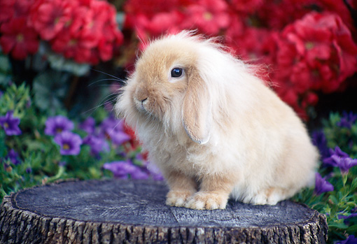 RAB 01 GR0326 01 © Kimball Stock Lop Eared Lionhead Rabbit Sitting On Stump In Garden