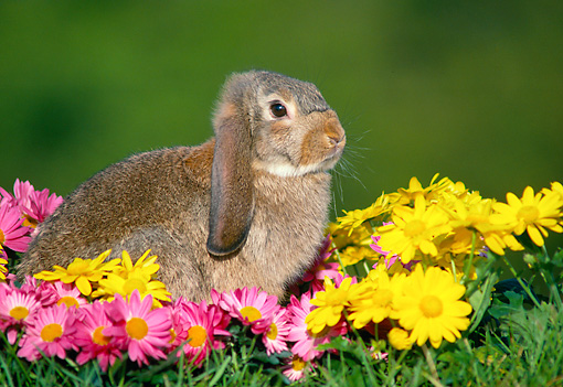 RAB 01 GR0328 01 © Kimball Stock Lop Eared Rabbit Kit Sitting In Yellow And Pink Daisies