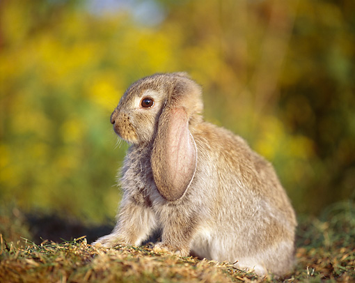 RAB 01 GR0337 01 © Kimball Stock Baby Mini Lop Rabbit Sitting On Grass