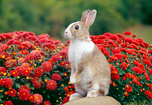 RAB 01 GR0341 01 © Kimball Stock Brown And White Rabbit Sitting Upright On Rock By Red Flowers