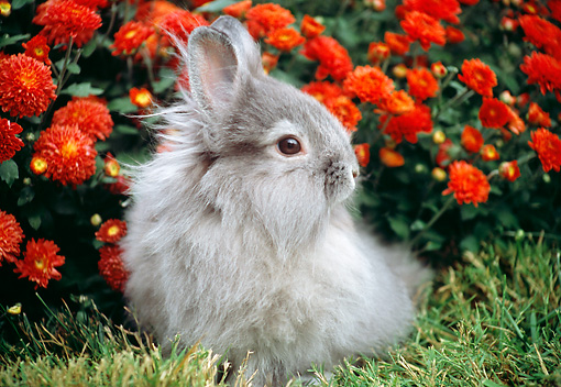 RAB 01 GR0344 01 © Kimball Stock Gray Lionhead Rabbit Sitting On Grass By Red Flowers