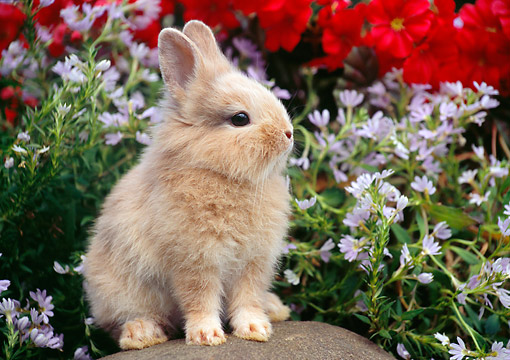 RAB 01 GR0349 01 © Kimball Stock Young Lionhead Rabbit Sitting On Rock In Garden