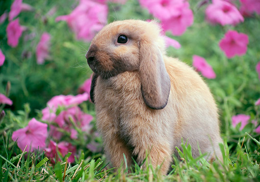 RAB 01 GR0350 01 © Kimball Stock Domestic Mini Lop Rabbit Sitting In Grass Near Pink Flowers