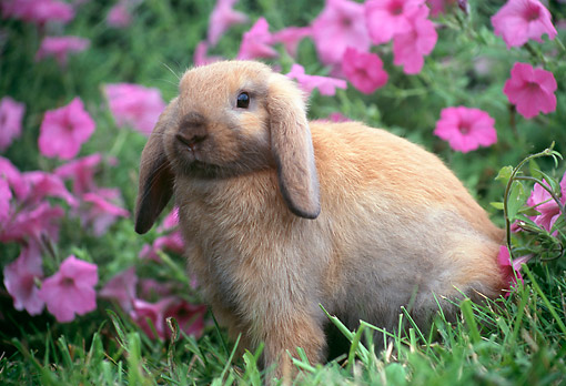 RAB 01 GR0351 01 © Kimball Stock Domestic Mini Lop Rabbit Sitting In Grass Near Pink Flowers